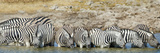 Burchell's Zebras (Equus Quagga Burchellii) at Waterhole  Etosha National Park  Namibia