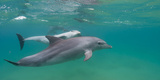 Bottle-Nosed Dolphin (Tursiops Truncatus) Swimming in Sea  Sodwana Bay  South Africa