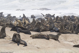 Colonies of Seal on the Coast  Mowe Bay  Skeleton Coast National Park  Kunene  Namibia