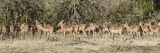 Herd of Impalas (Aepyceros Melampus) Walking in a Forest  Mashatu Game Reserve  Botswana