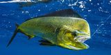 Dorado (Coryphaena Hippurus) Is Seen to Be Caught with Fishing Line Coming Out of the Mouth
