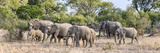 African Elephants (Loxodonta Africana) Looking for Water in a Forest  Mala Mala Game Reserve