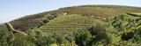 Tokara Vineyard  Delaire Graff Estate  Stellenbosch  Cape Town  Western Cape Province  South Africa