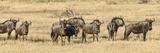 Herd of Blue Wildebeest (Connochaetes Taurinus) Grazing in a Forest  Chitabe  Okavango Delta