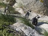 African Penguin (Spheniscus Demersus) at Boulders Beach  Simon's Town