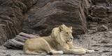 Male Lion (Panthera Leo) Resting in a Desert  Skeleton Coast National Park  Kunene  Namibia