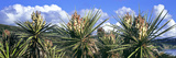 Close-Up of Yucca Plants in Bloom  Torrey Pines State Natural Reserve  San Diego