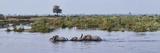 African Elephants (Loxodonta Africana) Snorkeling across River  Kings Pool Camp  Linyanti