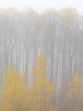 Aspen Trees in a Forest During Fog  Boulder Mountain  Utah  Usa
