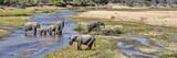 African Elephants (Loxodonta Africana) Along a River  Mala Mala Game Reserve  South Africa
