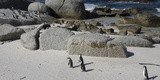 African Penguins (Spheniscus Demersus) at Boulders Beach  Simon's Town
