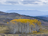 Aspen Trees in a Forest, Boulder Mountain, Utah, Usa Papier Photo par Green Light Collection