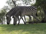 Two Zebras Eating Grass at Royal Livingstone Hotel  Livingstone  Zambia