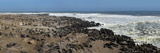 Cape Fur Seals (Arctocephalus Pusillus) Colony  Cape Cross  Namibia