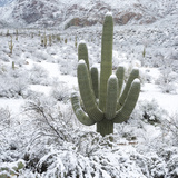 Saguaro Cactus in a Desert after Snowstorm  Tucson  Arizona  Usa