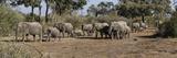 African Elephants (Loxodonta Africana) Walking in a Forest  Mashatu Game Reserve  Botswana