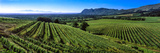 Vineyard  Klein Constantia  Constantia  Cape Town  Western Cape Province  South Africa