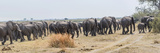 African Elephants (Loxodonta Africana) Leaving a River  Kings Pool Camp  Linyanti