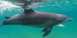 Close-Up of a Bottle-Nosed Dolphin (Tursiops Truncatus) Swimming in Sea  Sodwana Bay  South Africa