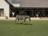 Zebra Walking across Grass at Royal Livingstone Hotel  Livingstone  Zambia