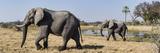 African Elephants (Loxodonta Africana) Walking in a Forest  Chitabe  Okavango Delta  Botswana