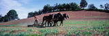 Farmer Plowing Field with Horses  Amish Country  Holmes County  Ohio  Usa