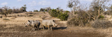 Two White Rhinoceros (Ceratotherium Simum) in a Forest  Mala Game Reserve  South Africa