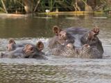Two Hippopotamus (Hippopotamus Amphibius) Heads Out of Water  Okavango Delta  Ngamiland  Botswana