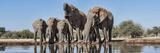 African Elephants (Loxodonta Africana) at Waterhole  Mashatu Game Reserve  Botswana