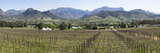 View of Vineyard in Franschhoek  Cape Town  Western Cape Province  South Africa
