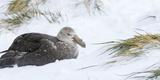 Close-Up of Southern Giant Petrel (Macronectes Giganteus) and Snow Tussock Grass