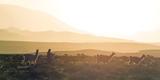 Herd of Llamas (Lama Glama) in a Desert  Villa Alota  Altiplano  Bolivia