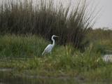 Great White Heron (Ardea Alba), Okavango Delta, Ngamiland, Botswana Papier Photo par Green Light Collection