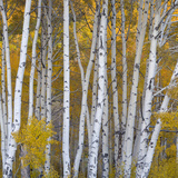 Aspen Trees in a Forest  Boulder Mountain  Utah  Usa