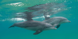 Close-Up of Two Bottle-Nosed Dolphins (Tursiops Truncatus) Swimming in Sea  Sodwana Bay