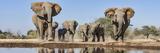 African Elephants (Loxodonta Africana) Running to Waterhole  Mashatu Game Reserve  Botswana