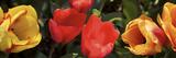 Close-Up of Multi-Colored Tulip Flowers