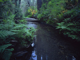 Small Stream Flowing Through Redwoods National and State Parks  California
