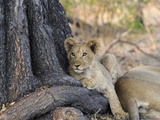Close-Up of a Lion (Panthera Leo) Cub in a Forest  Linyanti Concession  Ngamiland  Botswana