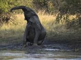 Elephant Taking Mud Bath  Zambezi River  Livingstone  Zambia