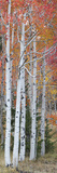 Autumn Quaking Aspen Trees  Boulder Mountain  Utah  Usa
