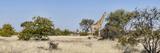 Giraffe (Giraffa Camelopardalis) Standing in a Forest  Mashatu Game Reserve  Botswana