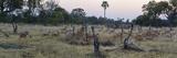 Impalas (Aepyceros Melampus) Running from Leopard at Dusk  Chitabe  Okavango Delta  Botswana