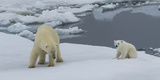 Female Polar Bear (Ursus Maritimus) with its Cub on Pack Ice  Spitsbergen  Svalbard Islands  Norway