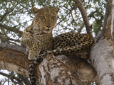 Close-Up of a Leopard (Panthera Pardus) on a Tree  Linyanti Concession  Ngamiland  Botswana
