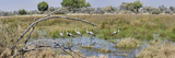 Wattled Cranes (Bugeranus Carunculatus) at a Pond  Chitabe  Okavango Delta  Botswana
