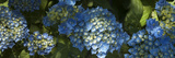 Close-Up of Hydrangeas Flowers Blooming on Plant
