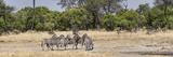 Zebras Grazing in a Forest  Chitabe  Okavango Delta  Botswana