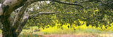 Sycamore Tree in Mustard Field in Spring at San Clemente Canyon  San Diego County  California  Usa
