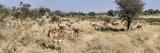 Impalas (Aepyceros Melampus) Grazing in a Field  Chitabe  Okavango Delta  Botswana